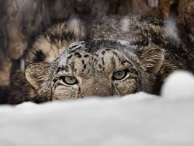 Asian Nations Unite to Protect Snow Leopards