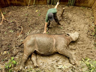 The Fragile Songs of the Sumatran Rhinos