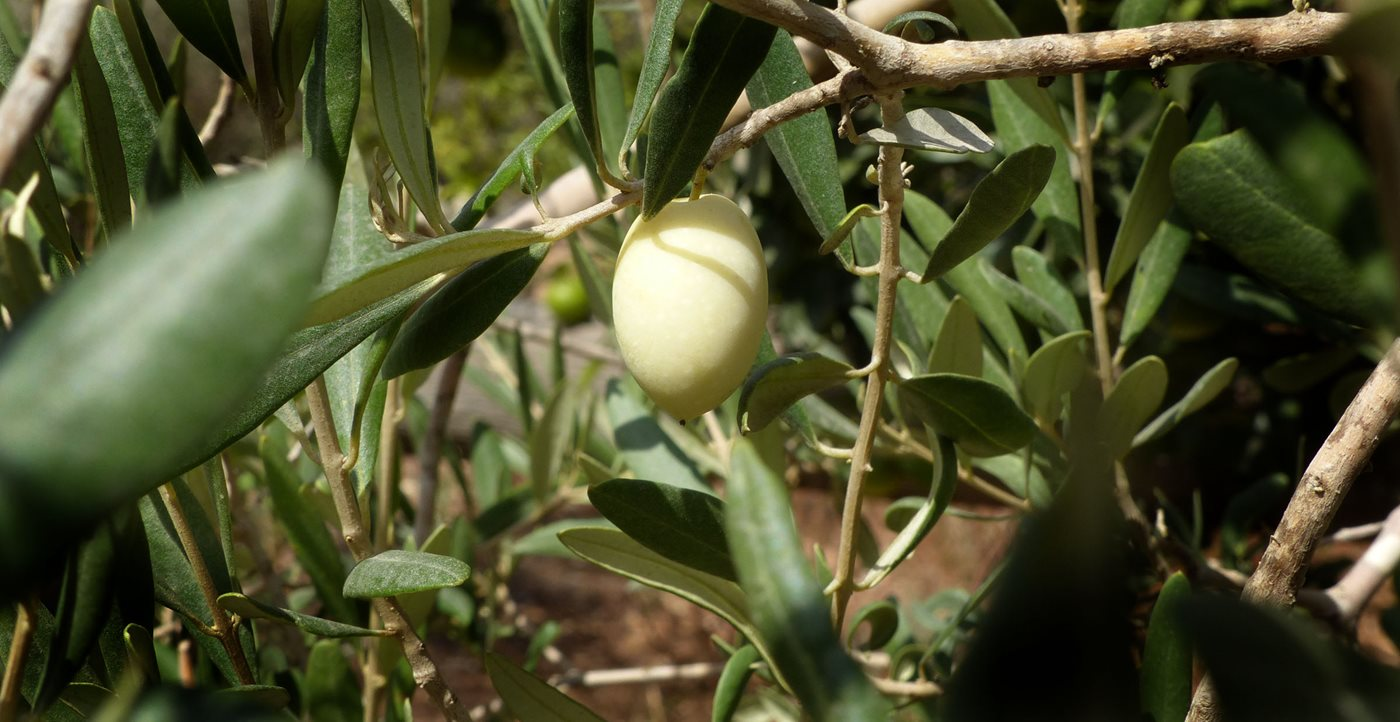 The White Olives of Malta