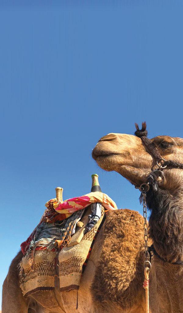 Camel saddling